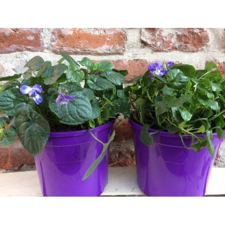 Pot de Violettes de Toulouse