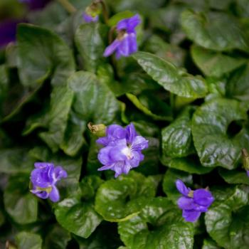 Vous connaissez toutes les particularités de la Violette de Toulouse ? 😉  On vous fait un petit rappel :  la violette toulousaine est double (30 à 40 pétales) elle a une couleur parme au cœur blanc elle est très parfumée elle est cultivée sous serres (et non dans la Nature) sa floraison est hivernale : de décembre à mars  elle se reproduit uniquement par bouturage (elle ne fait pas de graines) elle se plaît à l'extérieur, à l'abri du gel et à l'ombre  elle refleurit chaque année, à tailler début juillet  -  #lamaisondelaviolette #violette #bytoulouse #hautegaronne #nature #igerstoulouse_people #igerstoulouse #fleurs #toulousemaville #fleursdeviolette #visiteztoulouse #toulousecity #culture